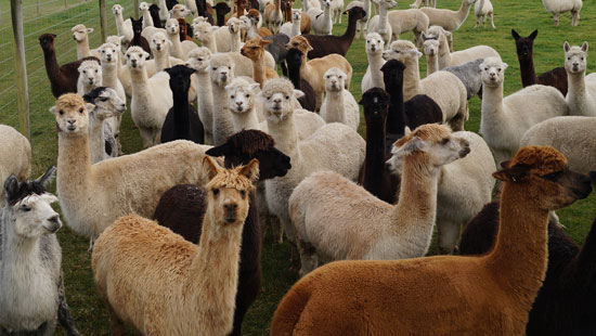 About Sherlin Alpaca Stud